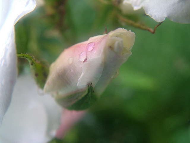 Rosebuds by Epicnom via Flickr CC-BY-NC