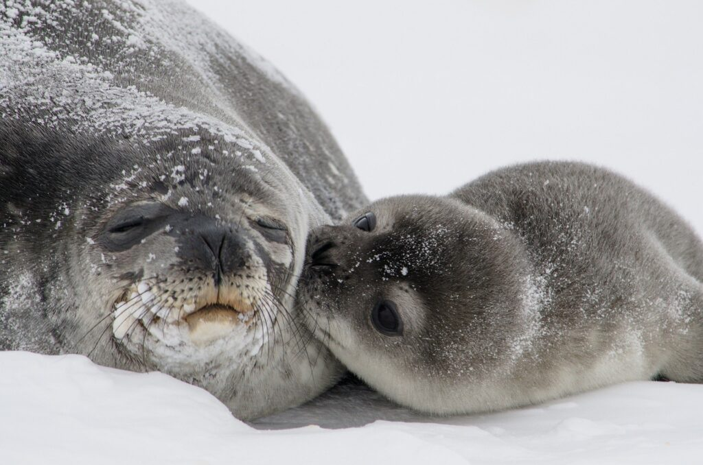 Seal mom and baby (mom is sleepy and baby looks like its kissing her)